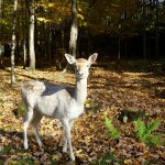 O Bambi