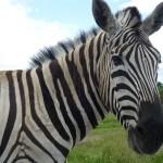 Xi... deu zebra!